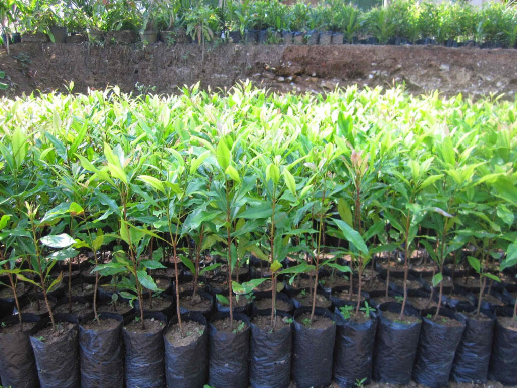 cara menanam cengkeh yang baik